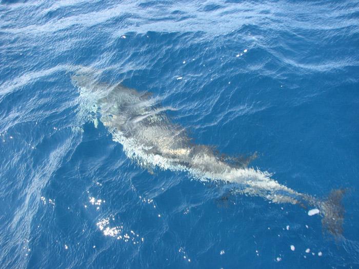 Delfin în Eggea