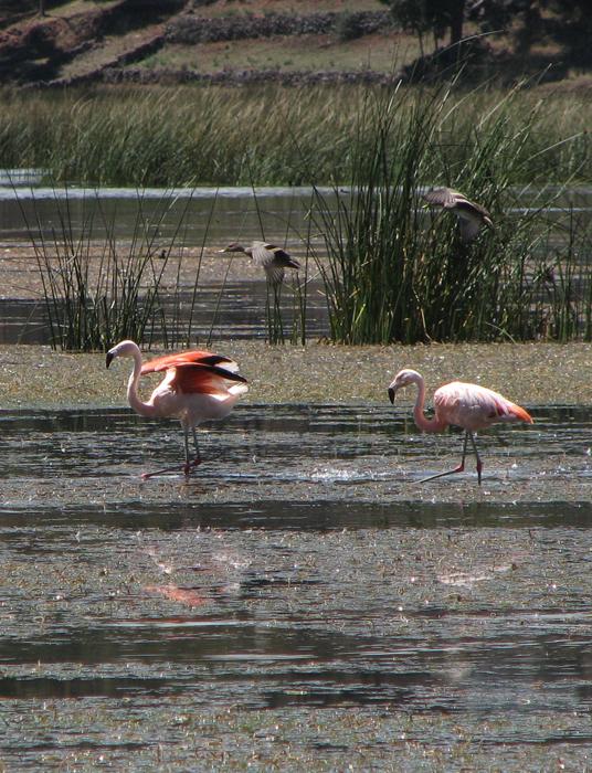 Flamingo la laguna Umayo