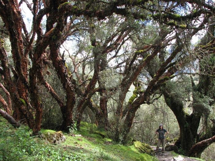 Arborii chenoal