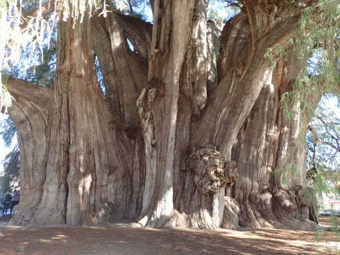 Copacul milenar din Tule